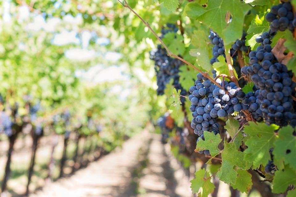Pôda vo vinohrade